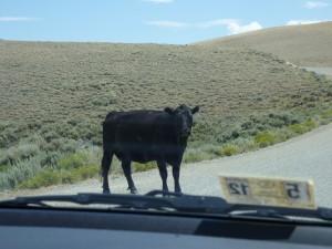 sentry cow